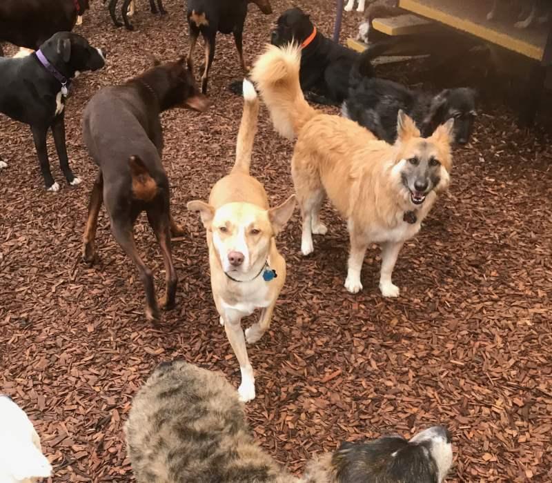 Kennel Free Dog Boarding Seattle